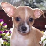 napolean - sf dog connect - chihuahua